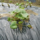 芋成長H27年5月末1kai